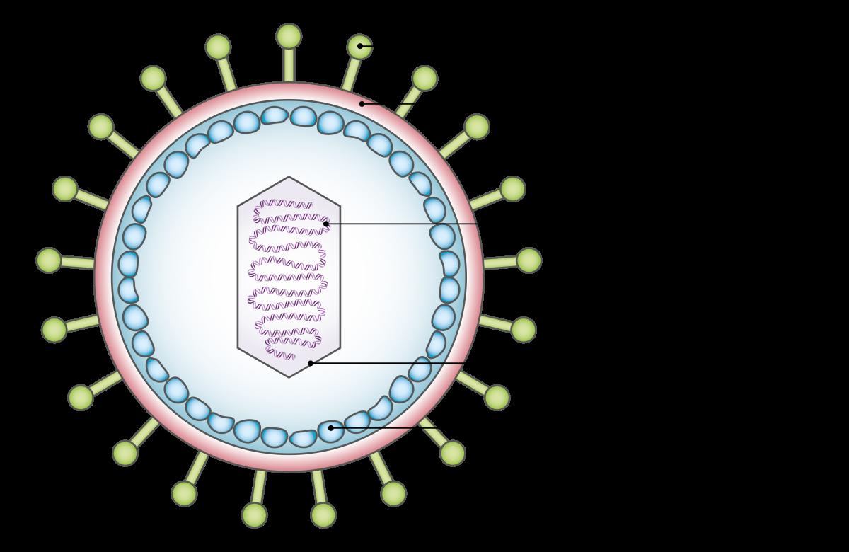 nőknél a condyloma veszélyes hpv vakcina guillain barre szindróma