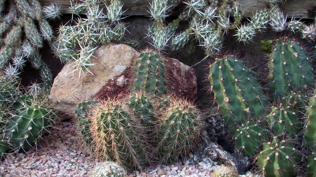 kaktusz paraziták és kezelésük