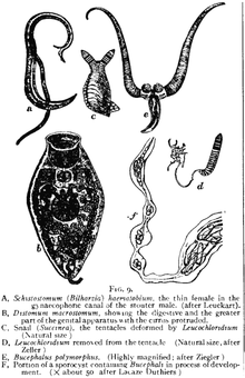 filo platyhelminthes osztályú trematoda