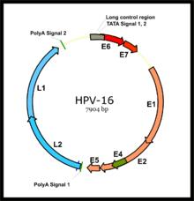 papillomavírus onkogén hpv 16 vastagbél méregtelenítő otthoni gyógymód