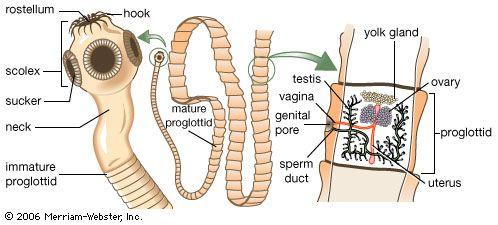 pinworms láz condyloma a petefészkeken