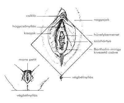 a húgycső külső nyílásának genitális szemölcsök több parazita táplálkozik