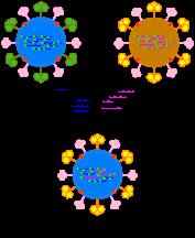 papilloma vakcina vírus liguria