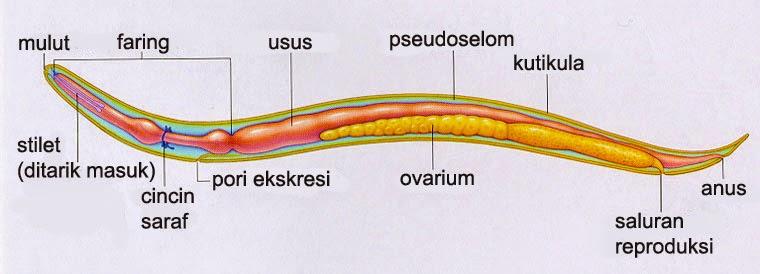 nemathelminthes szaporodott hewan