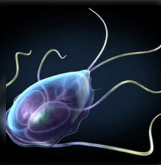 mit jelent az emberi papilloma féregtelenítés a pinwormok ellen