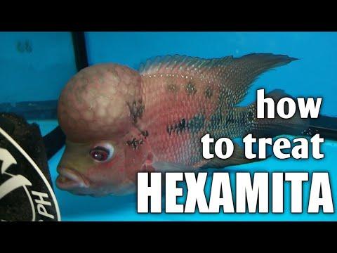 paraziták hexamittal genitális szemölcsök, amelyeknek véleménye volt