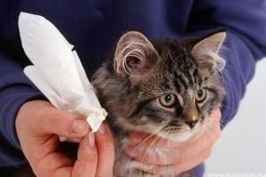 karcolások macskák füle kezelés ha a szemölcsöket eltávolítják a klinikán